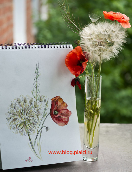акварель , тушь, полевые цветы, маки